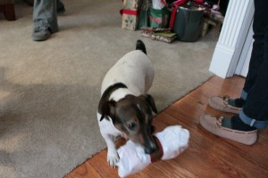 Newton making off with one of the gifts. Luckily, it was actually for him.