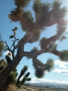 I went for a walk in the sun in a Joshua Tree forest near my parents' house.